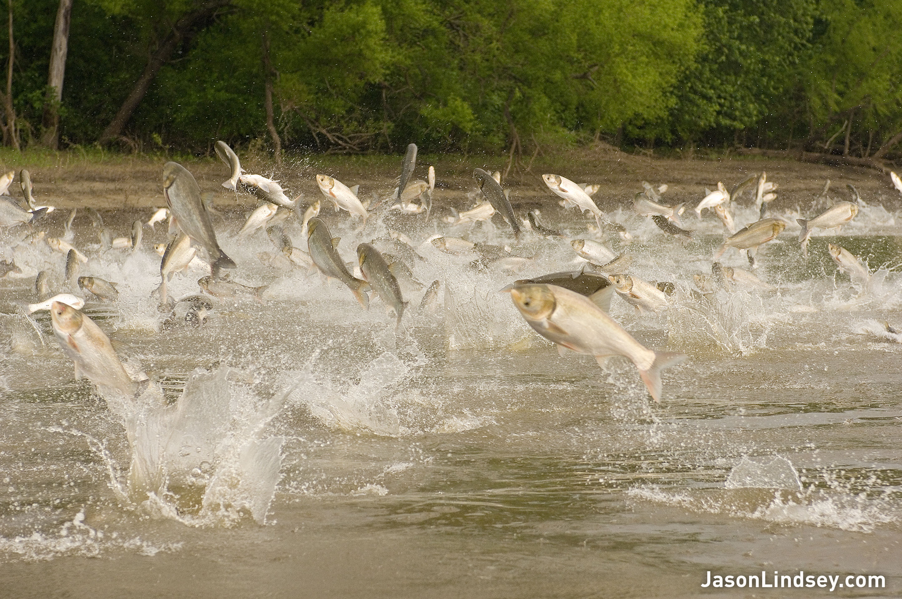Two species of asian carp the bighead and silver jumping out of the