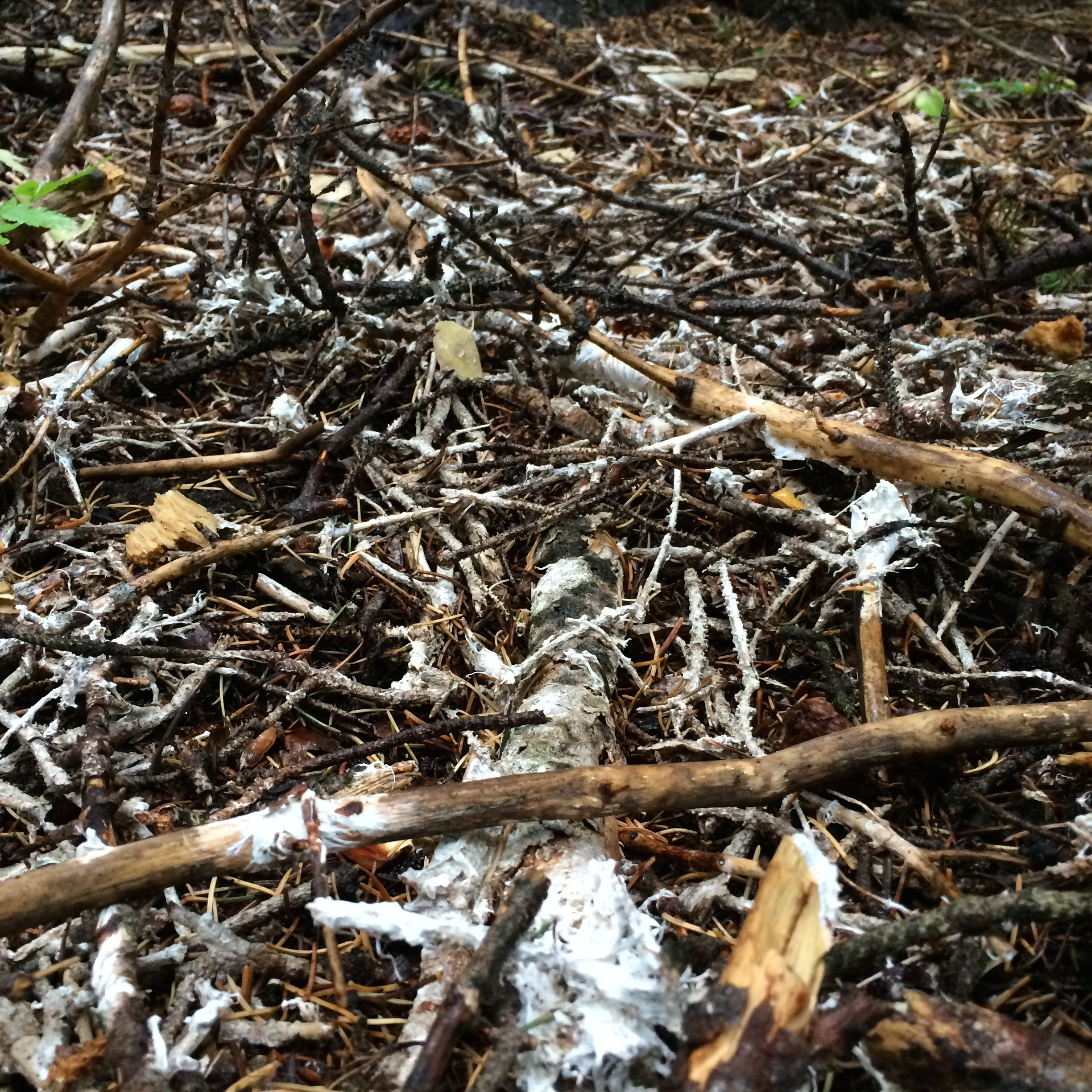 Mycelium on the forest ground2